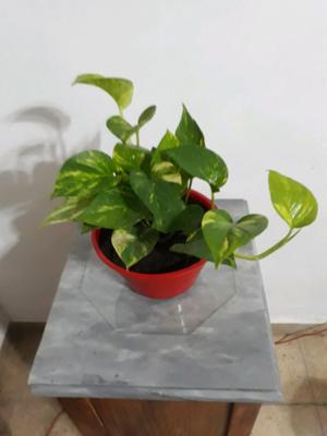 Planta de Interior Potus