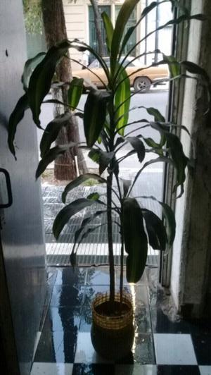 Planta,palo de agua