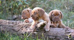 Dogos De Burdeos Excelentes Cachorras Lineas Importadas