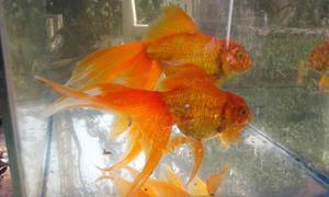 Goldfish Oranda Cabeza De Leon