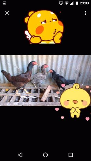Vendo gallinas o permuto