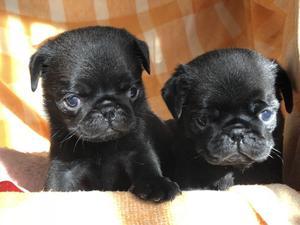 Cachorros Pug Carlino negros y beige DESDE $ 10 mil