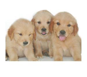 GOLDEN RETRIEVER HEMBRITAS DORADAS!!! Tarjetasenvios