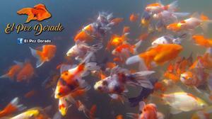 Carassius calicos y telescopicos posot class for Criaderos de peces de agua fria
