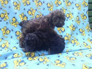 Cachorros de Caniche Toy y Mini Toy. Ituzaingo