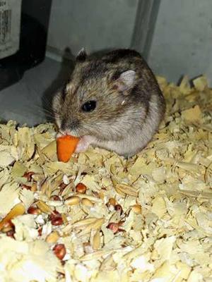 Hamster Rusos 1 Mes Y 2 Meses