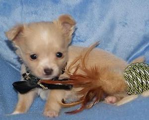 Cachorros de Chihuahua macho y hembra