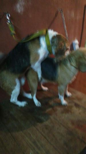 Beagle macho y hembra