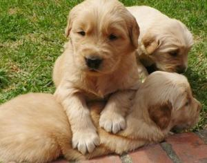 Cachorros Golden Retriever De Pureza Inigualable !!