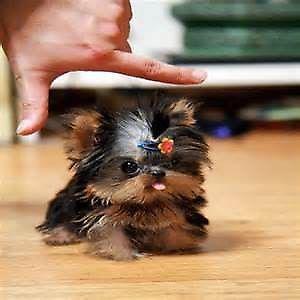 cachorros Yorkshire Terrier!