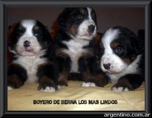 Boyero de Berna cachorros