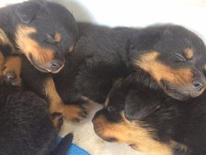 ROTTWEILER MACHITOS Y HEMBRITAS PARA RESERVAR!!