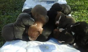 Cachorros Pitbull Mama Y Papa a La Vista