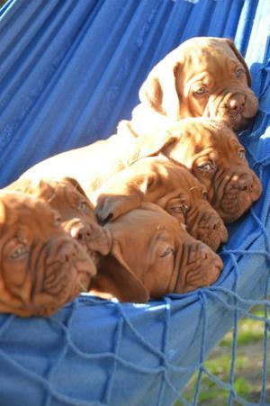 Dogos de Burdeos