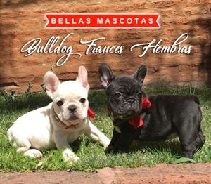 ultimas hembritas bulldog frances HERMOSAS con papeles