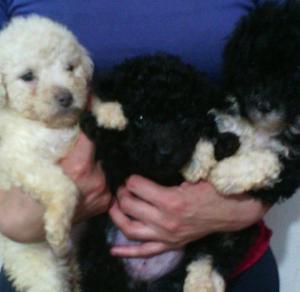 Hermosos cachorros Caniche Toy