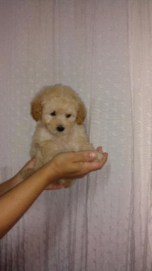 Se vende hembrita caniche mini Toy pequeña