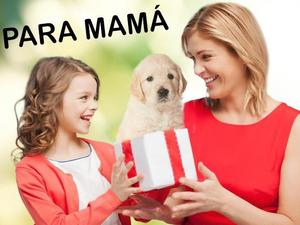 GOLDEN RETRIEVER HEMBRITAS PARA MAMA!! TARJETAS/ENVIOS