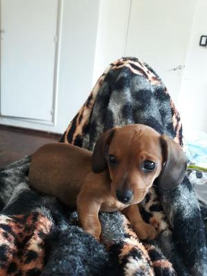 perrito salchicha mini 2 meses