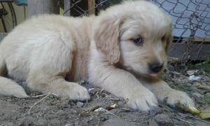 Golden Retriever cachorra hembra vendo