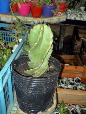 Cactus Cereus Spiralis, Espiralado 23 Cm Alto