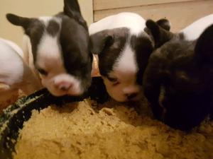 Cachorros bulldog frances con FCA de exelencia