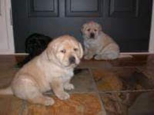 Exclusivos Labradores de Lujo en Cordoba
