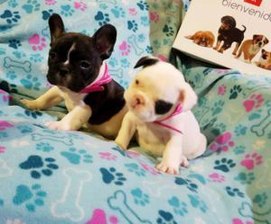 Cachorros bulldog frances de lujo con FCA