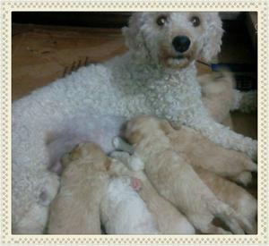 Caniche toy cachorros excelentes