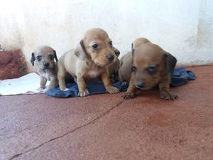 Cachorros Salchicha MINI