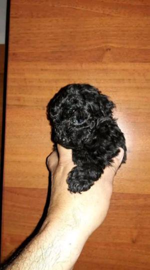 Hembrita caniche negra azabache mini