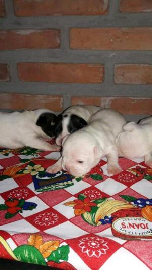 Bulldog francés vaquitas (FCA)