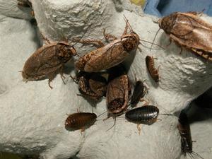 Cucarachas, blapticas y sinereas X 50