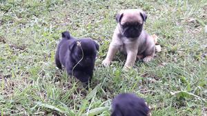 Cachorros Pug Carlino (reserva)