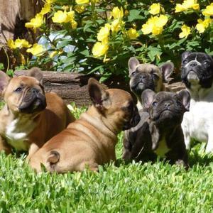Cachorros bulldog frances Hembras y Machos