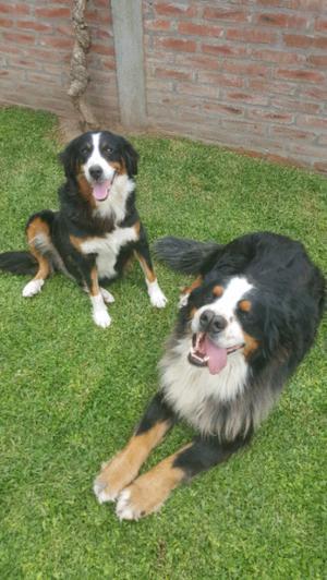 Cachorros Boyero de Berna