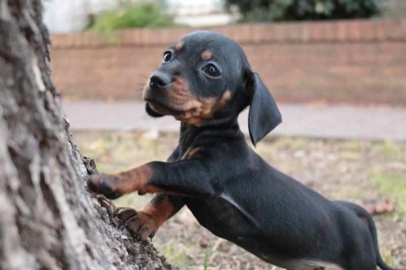 Cachorro salchicha mini