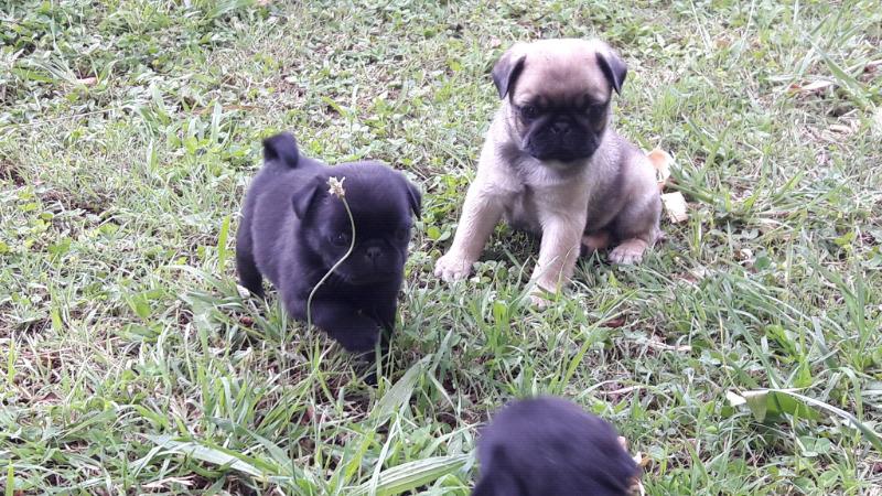Cachorros Pug Carlino (seña)