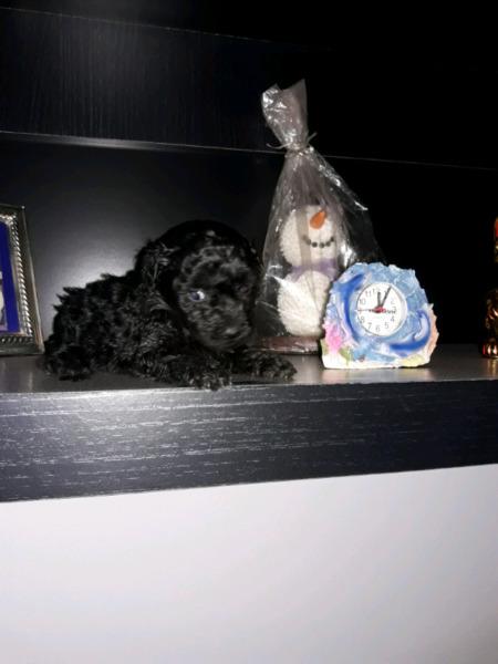 Caniche hembra negra azabache