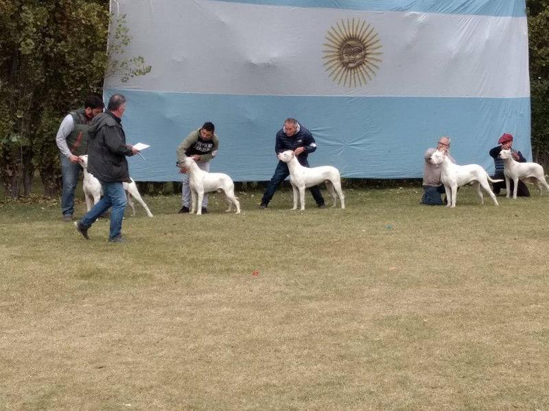 vendo excelente cachorros Dogo Argentino con papeles y