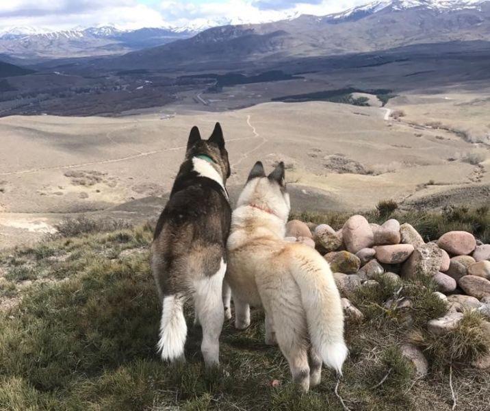Akita Americano - Junin De Los Andes