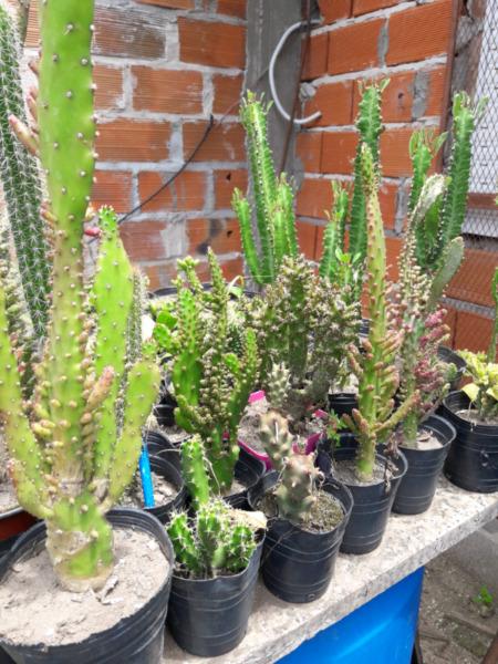 Vendo cactus de varios tipos