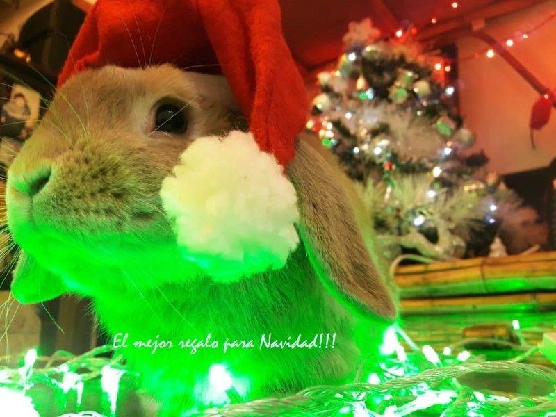 Conejos Holland Lop y Cabeza de León, en La Paternal!!!
