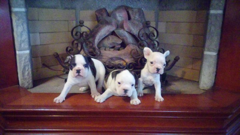 Cachorros bulldog francés con fca