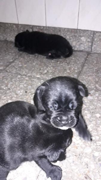 Cachorros Cruza Pitbull Con Labrador Posot Class