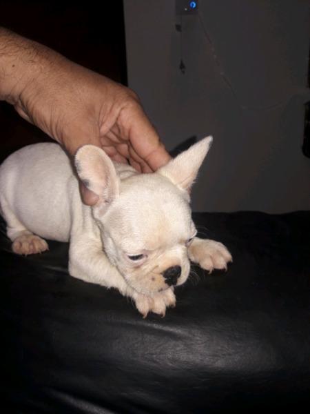 Bulldog francés macho y hembra (FCA)