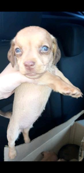 Cachorras salchichas en venta exelentes genetica exotica