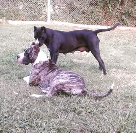 f69bb6b42531 Cachorros dogo presa canario rosario | Posot Class