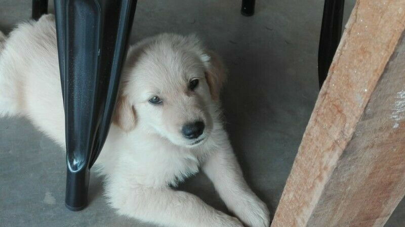 Vendo cachorro macho golden retriever