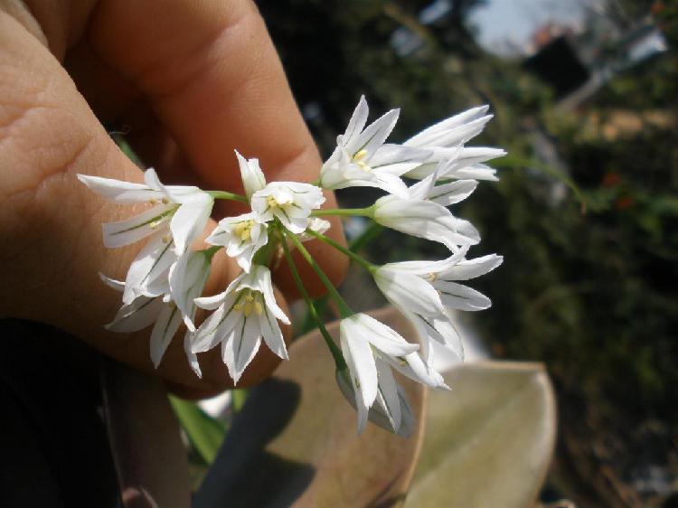 gp5600 Plantin de Cebolla silvestre Lágrima de la Virgen